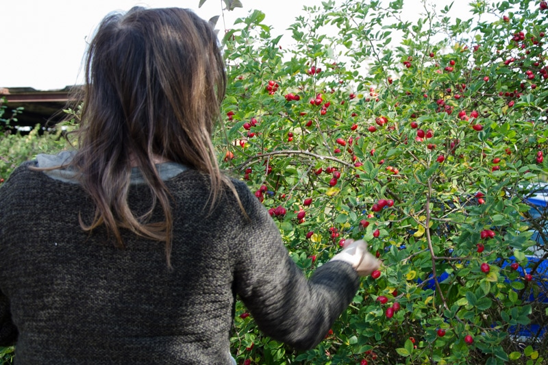 Foraging for rosehips