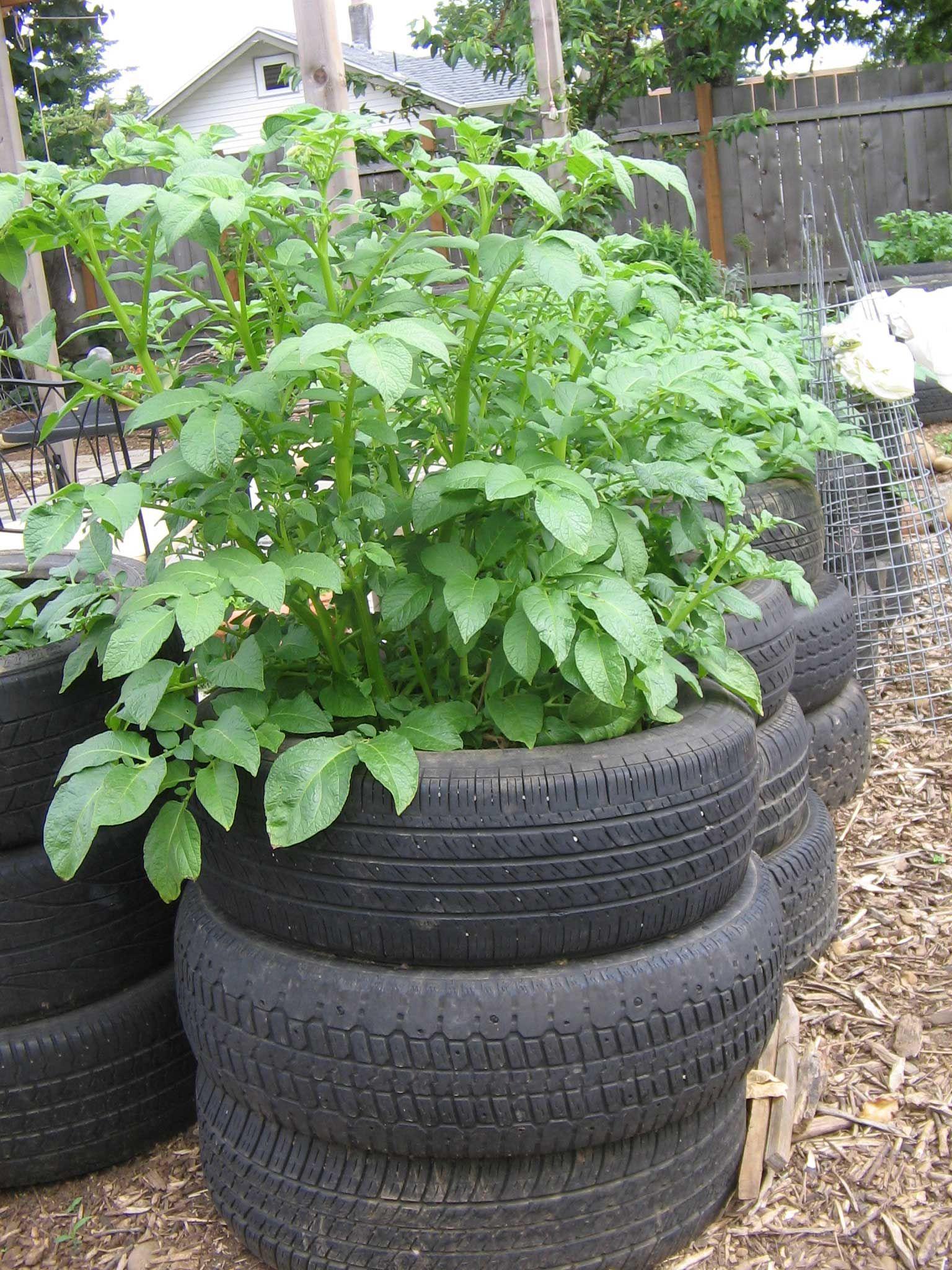 Growing potatoes in tyres