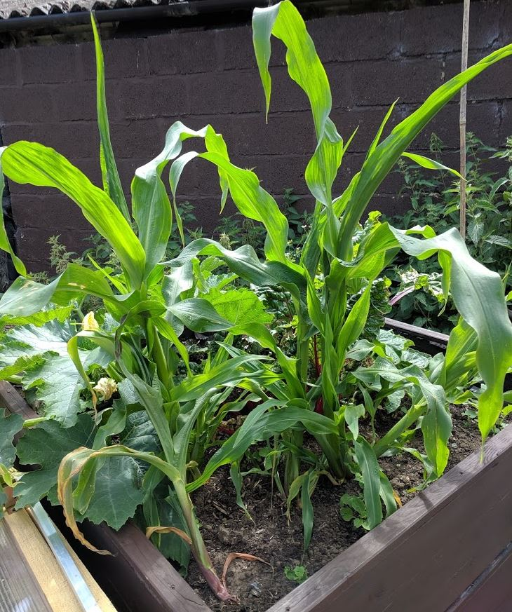 The corn and chard are reaching new heights