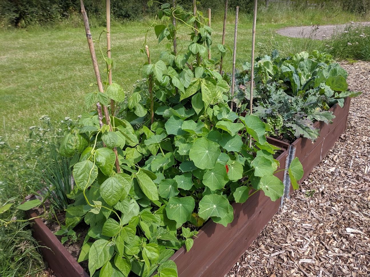 Growing peas, beans, kale and cabbage