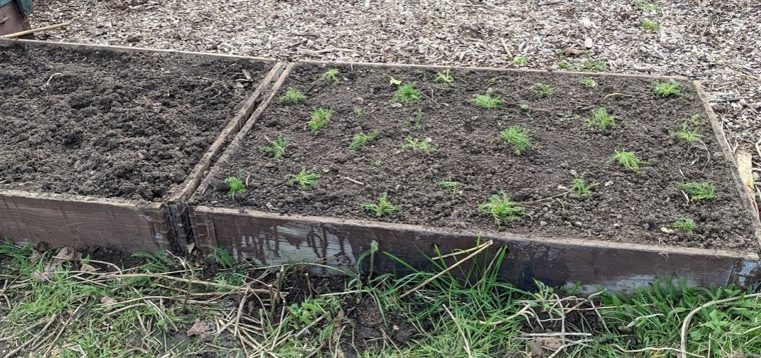 Planting Up a chamomile seat