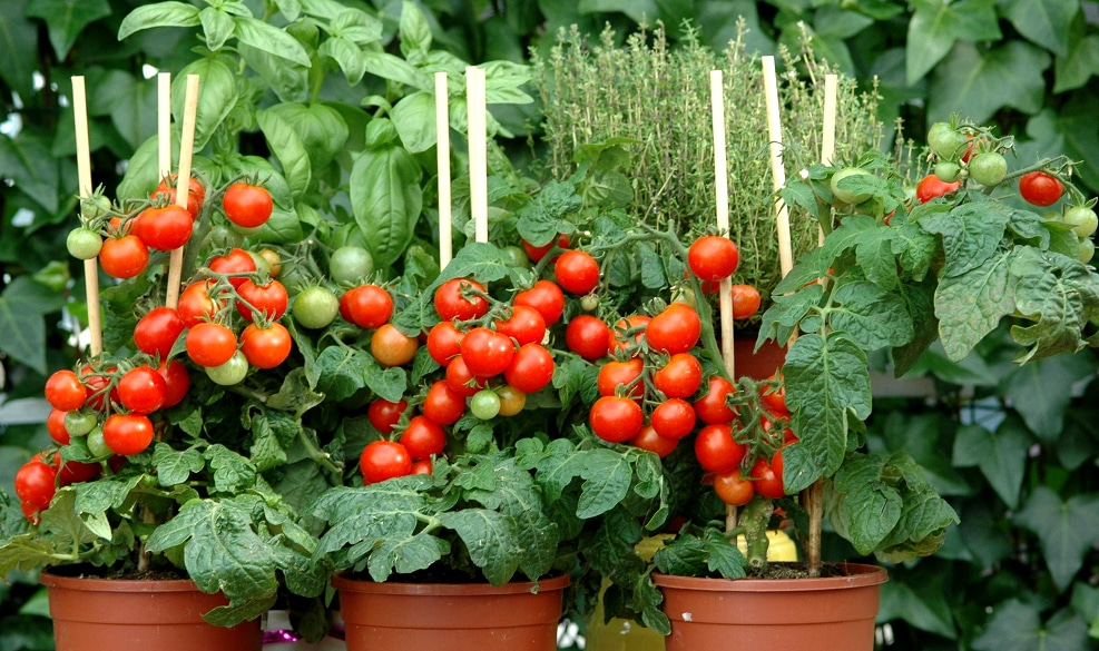 Grow your own tomatoes in pots